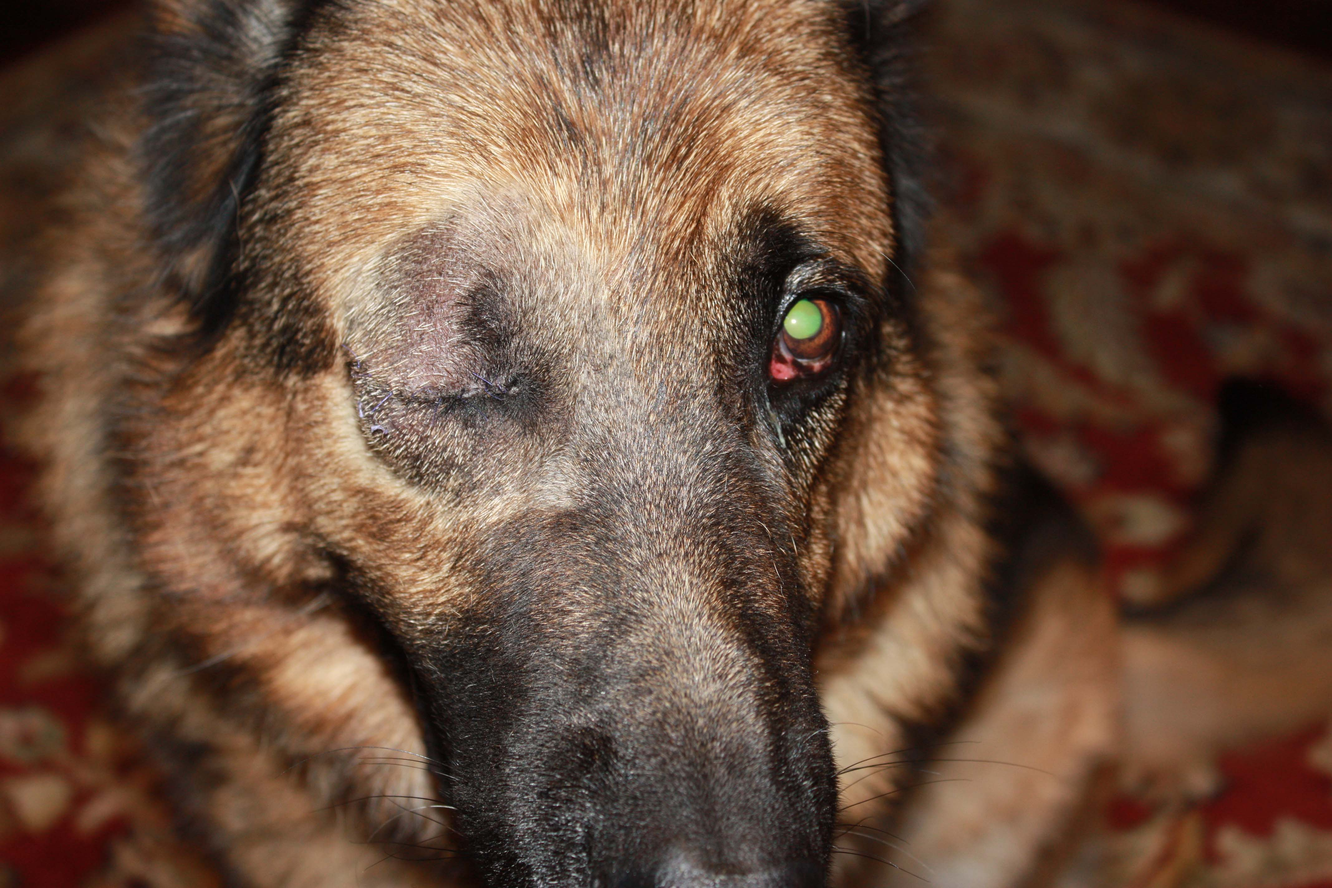 German Shepherd One Eyed Dog