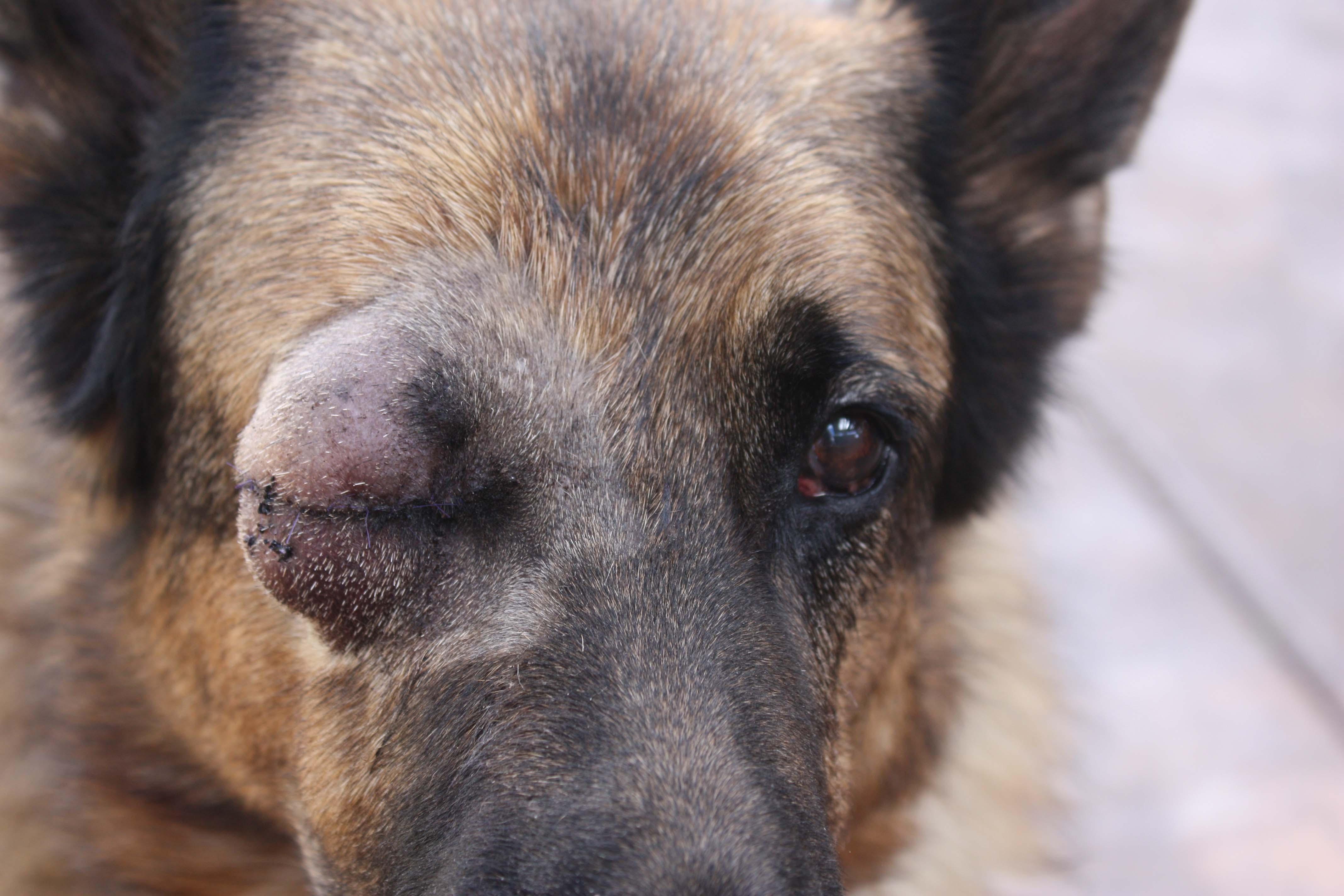 Melanocytoma Dog Eye